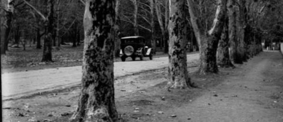 Image: an early twentieth century car drives down a road lined with densley planted large trees in this black and white photograph