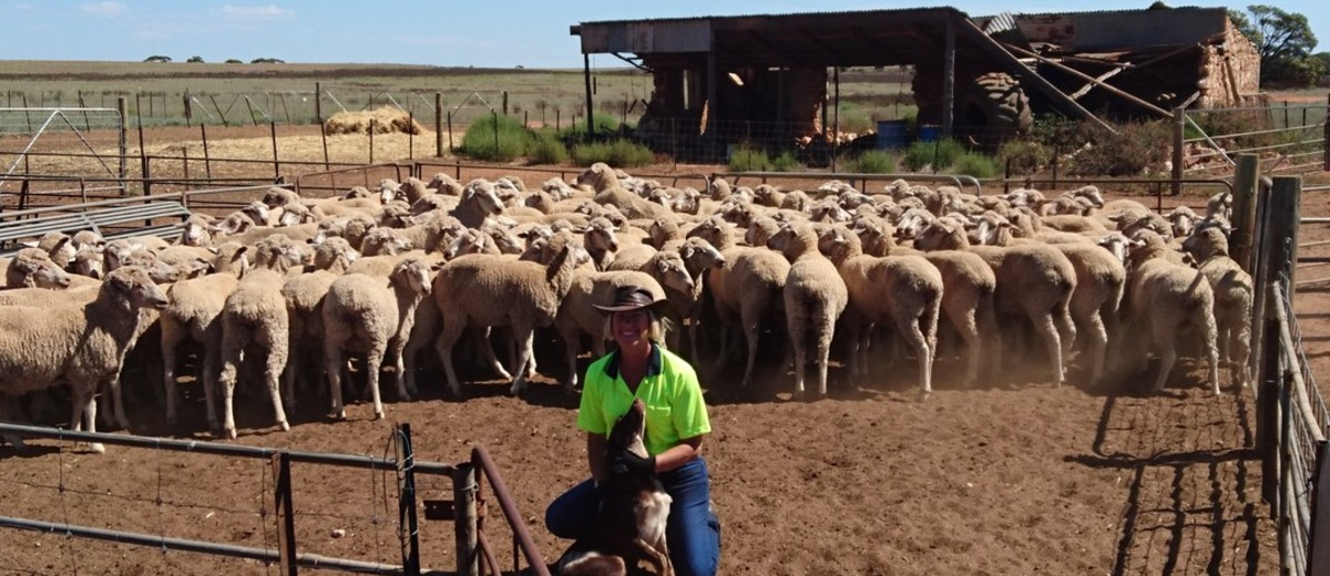 Woman crouched with kelpie dog in yard full of sheep.