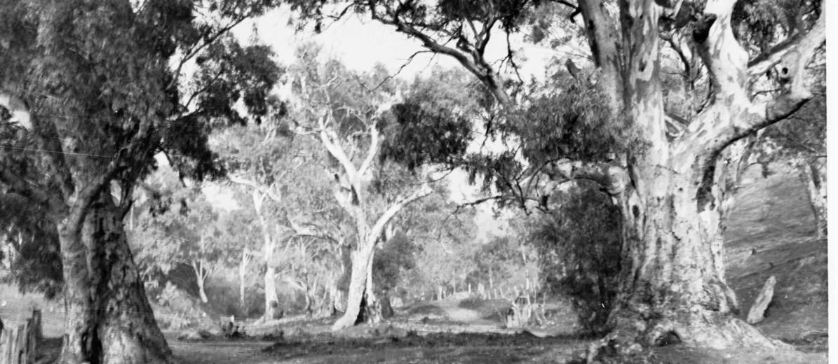 Image: large gum trees