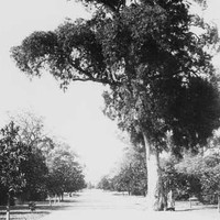 Image: a pathway lined with trees, with a larger tree towering over the pathway