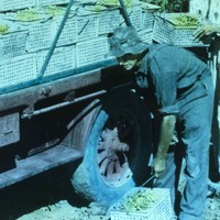 Image: Loading grapes on truck