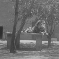 Image: two lions lying in an enclosure