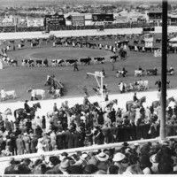 Image: Cows being paraded with large crowd watching