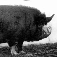 Image: A large hairy black pig