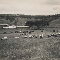 Image: Horses and sheep grazing with Bungaree Station in the background