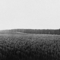 Image: a forest with young trees in the foreground and fully grown pine trees in the background