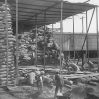 Image: A group of men use wheelbarrows to move large sacks of wheat from a shed. Within the shed are numerous tall stacks of wheat sacks