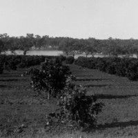 Image: Orange orchard
