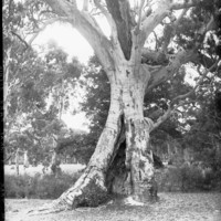 Image: Old gum tree