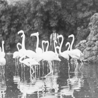 Image: Flamingoes at Zoological Gardens