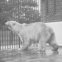 Image: Polar bear at Zoological Gardens