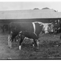 Image: A man is standing next to a cow and a calf in front of a barn.