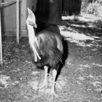Image: Cassowary at the Zoological Gardens