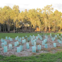 Image: Saplings of several species of tree are grouped together in an area of sparse vegetation. Larger trees and a walking trail are visible in the background