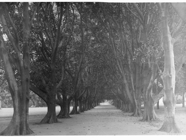 Image: A dirt path is bordered on each side by several large Moreton Bay Fig trees. Other trees and parkland are visible in the background
