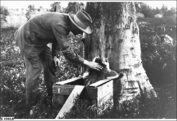 Image: Release of first koalas on Kangaroo Island