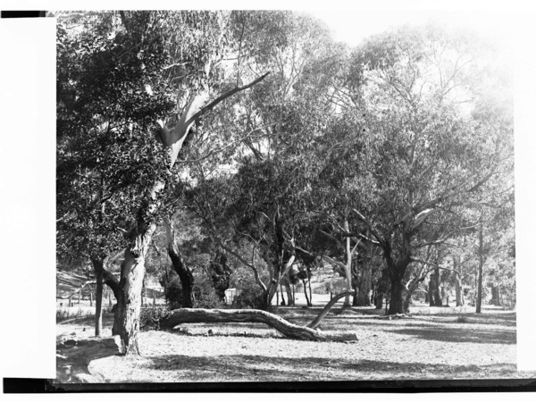Image: view of gum trees