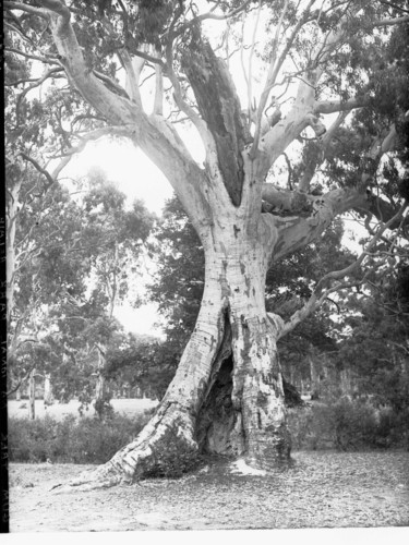 Image: Old gum tree