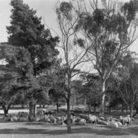 Image: a herd of sheep graze under gum and pine trees
